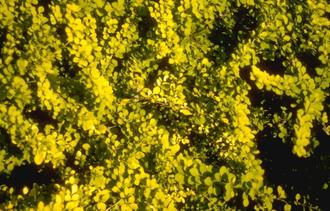 Japanse zuurbes - Berberis thunbergii 'Aurea'