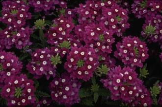 Verbena - Verbena 'Romance Violet with Eye'