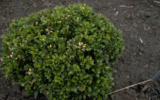 Japanse zuurbes - Berberis thunbergii 'Kobold'