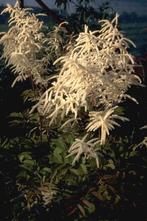 Geitenbaard - Aruncus dioicus