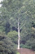 Himalajaberk - Betula utilis subsp. jacquemontii