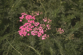 Gewoon duizendblad - Achillea millefolium 'Lilac Beauty'