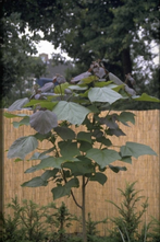 Trompetboom - Catalpa x erubescens 'Purpurea'