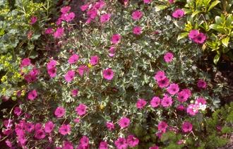 Geranium cinereum 'Giuseppii'