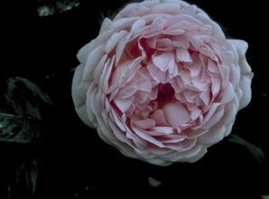Leiroos - Rosa 'Constance Spry'