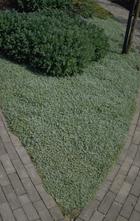 Stekelnootje - Acaena buchananii
