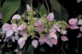 Schijnhortensia - Schizophragma hydrangeoides 'Roseum'