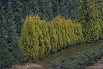 Oosterse levensboom - Thuja orientalis 'Golden Minaret'