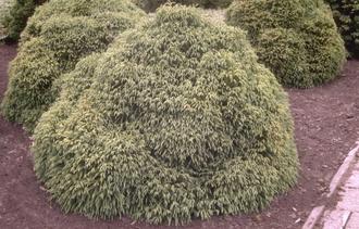 Japanse cipres - Cryptomeria japonica 'Globosa Nana'