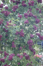 Ramblerroos - Rosa 'Bleu Magenta'