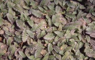 Koperknoopje - Leptinella potentillina