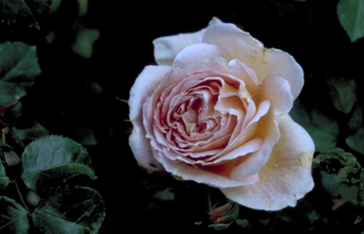 Engelse roos - Rosa 'Abraham Darby'