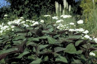 Koninginnekruid - Eupatorium rugosum 'Chocolate'