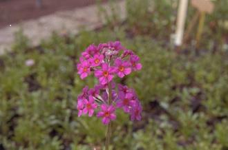 JapanseSleutelbloem - Primula japonica