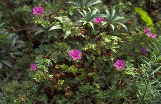 Zilveresdoorn - Acer saccharinum
