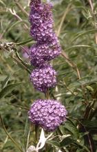 Vlinderstruik - Buddleja davidii 'Nanho Blue'
