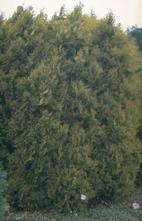Westerse levensboom - Thuja occidentalis 'Rheingold'
