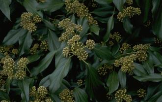 klimop - Hedera colchica 'Arborescens'