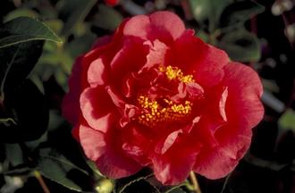 Camelia - Camellia japonica 'Kramer's Supreme'