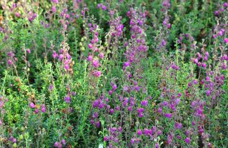 Ierse Heide - Daboecia x scotica 'William Buchanan'