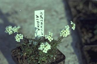 Beemdooievaarsbek - Geranium pratense 'De Bilt'