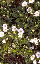 Schoenlappersplant - Bergenia cordifolia 'Purpurea'