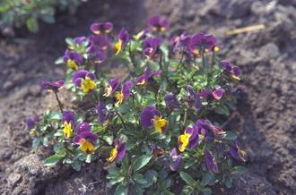 Driekleurige viooltje - Viola tricolor