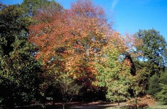 Rode esdoorn - Acer rubrum
