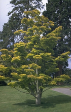 Esdoorn - Acer shirasawanum 'Aureum'