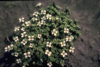 Zandmuur - Arenaria tetraquetra