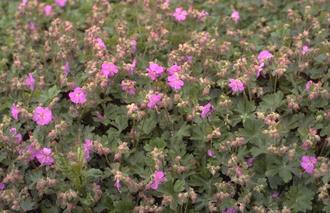 Ooievaarsbek - Geranium x cantabrigiense 'Karmina'