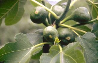 Vijgenboom - Ficus carica 'Brown Turkey'