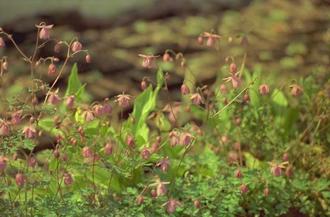 Semiaquilegia ecalcarata