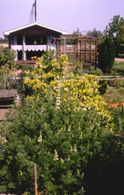 Boomlupine - Lupinus arboreus 'Golden Spire'