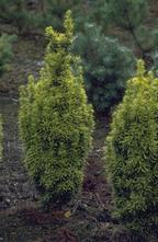 Taxus - Taxus baccata 'David'