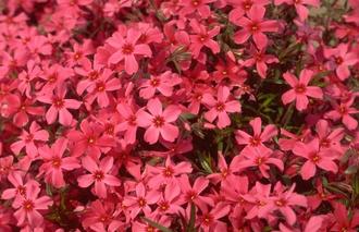 Hortensia - Hydrangea macrophylla 'Europa'