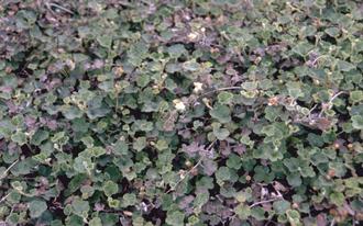 Kruipende braam - Rubus pentalobus