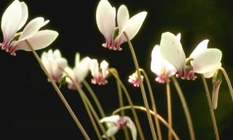 Cyclaam - Cyclamen hederifolium 'Album'