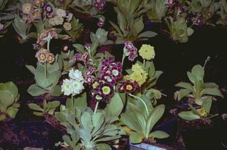 Tuinaurikel - Primula x pubescens 'Monarch Strain'