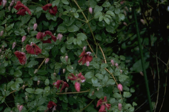 Italiaanse clematis - Clematis viticella 'Kermesina'
