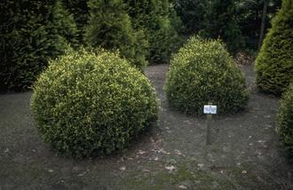 Westerse levensboom - Thuja occidentalis 'Meinecke's Zwerg'
