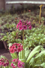 JapanseSleutelbloem - Primula japonica 'Miller's Crimson'