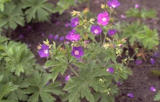 Geranium sylvaticum 'Meran'