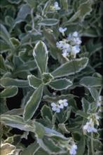 Rijstebrij - Arabis caucasica 'Variegata'