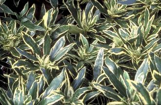 Rododendron - Rhododendron ponticum 'Variegatum'