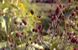 Grote pimpernel - Sanguisorba officinalis