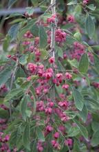 Kardinaalsmuts - Euonymus phellomanus
