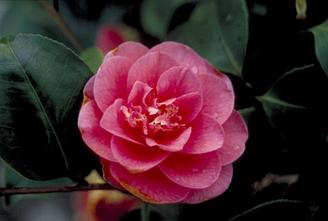 Camelia - Camellia japonica 'Margherita Coleoni'