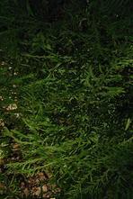 Mannetjesvaren - Dryopteris filix-mas 'Linearis Polydactyla'