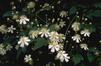 Clematis 'Paul Farges'